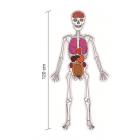 L'homme : squelette et organes